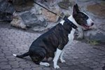 Bull Terrier strong studded collar made of leather