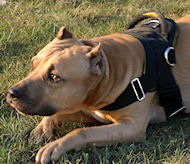 All-Weather Dog Harness for Amstaff, Dogs Education and Sport