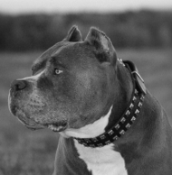 Caterpillar Style Amstaff Collar with Studs