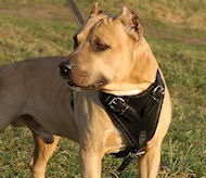 Agitation Leather Dog Harness for Amstaff