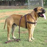 Bullmastiff Such-, Zug- ,Lauf-Hundegeschirr aus Leder H5