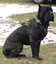 Cane Corso Edles Hundegeschirr aus Leder