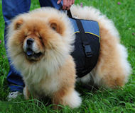 Chow-Chow Perfektes Geschirr mit Extra Griff, Outdoor