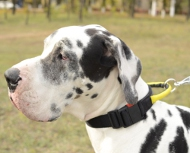 Nylon Collar with Handle Great Dane