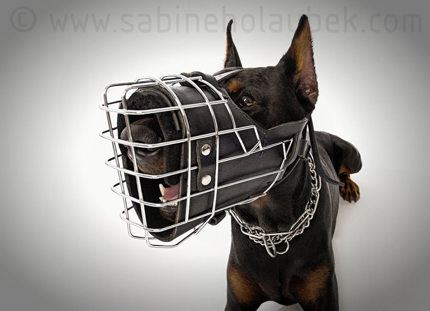 Fully padded hard dogs working wire muzzle for Doberman