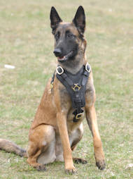 Belgian Malinois Luxury Handcrafted Padded Leather Harness
