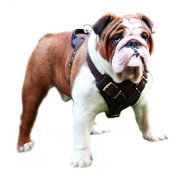 Protection Dog Harness of Leather for English Bulldog
