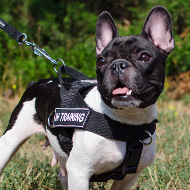 Dog Harness French Bulldog with Patches, Training