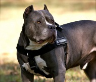 /images/H17-Nylon-Hundegeschirr-Pitbull.jpg