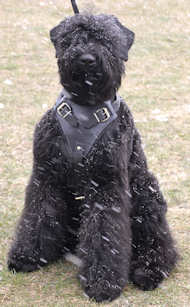 Agitation Leather Dog Harness for Black Russian Terrier