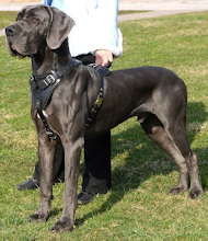 Protection,Attack Leather Dog Harness K9 for Great Dane