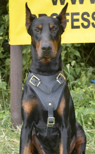 Doberman Protection and Attack Leather Dog Harness