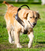 Hundegeschirr K9 Golden Retriever mit Klettlogos