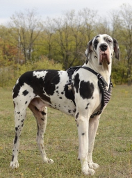Leather Harness Designer for Great Dane