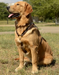 Leather Harness for Tracking for Golden Retriever | Luxury K9