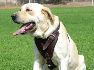 Brustgeschirr Leder für Labrador im Braun