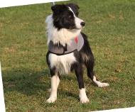 Hundemantel aus Nylon für Border Collie