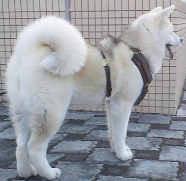 Husky Luxury Harness