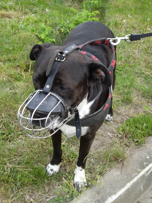 Wire cage muzzle for Amstaff