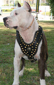 Royal Dog Studded Leather Harness H11 for Pitbull