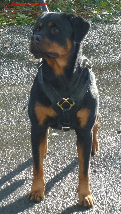 leder hundegeschirr f r rottweiler edel 95 9. Black Bedroom Furniture Sets. Home Design Ideas
