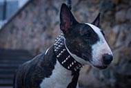 Bull Terrier studded collar with Nickel Studs