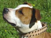 Tan Leather Amstaff Collar with Spikes