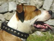 Exclusive Leather Amstaff