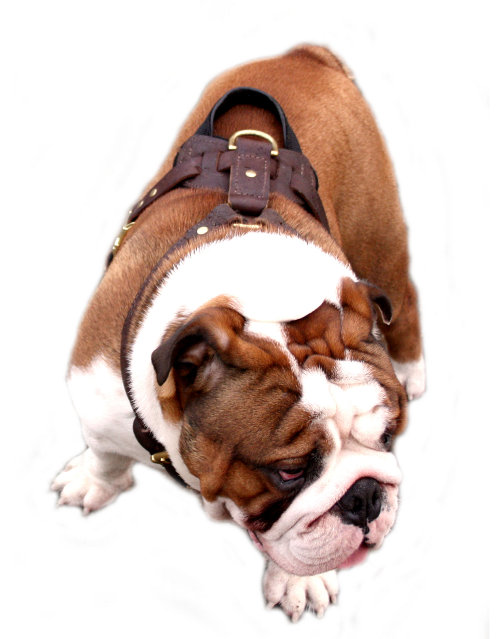 English Bulldog leather dog harness