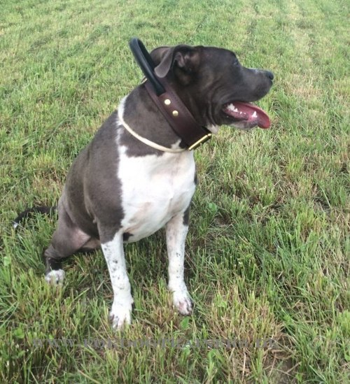 Coco Pitbull Terrier Halsband aus Lederdoppellagig