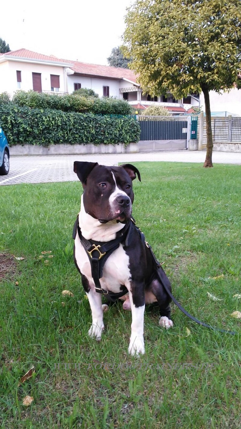 Amstaff Sport Harness of Leather - €59.9