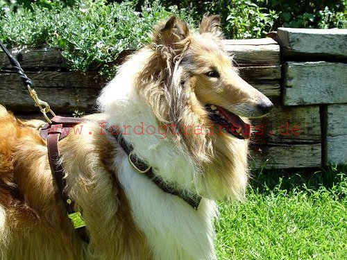 Hundegeschirr fuer Collie Training