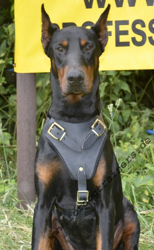 dog leather harness wuth handle and padding for doberman