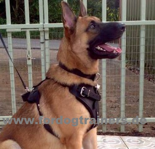 German Shepferd and Malinois harness
