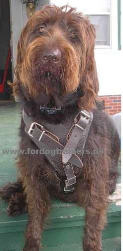Labradoodle harness