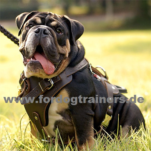 Harness English Bulldog