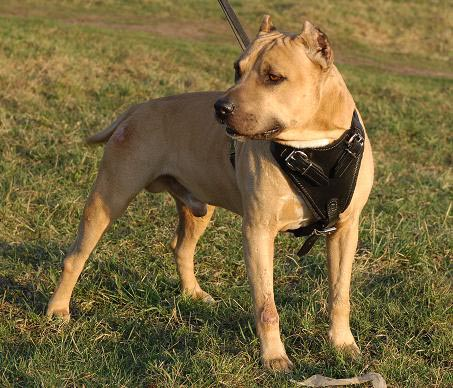 Amstaff dog harness leather in classic design