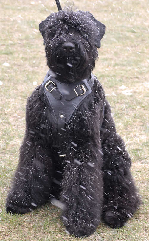 Leather dog harness for Russian Terrier