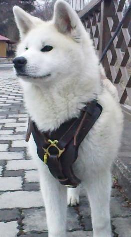 Husky geschirr shop