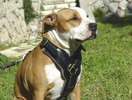 Exclusive Luxury Handcrafted Padded Leather Harness for Amstaff